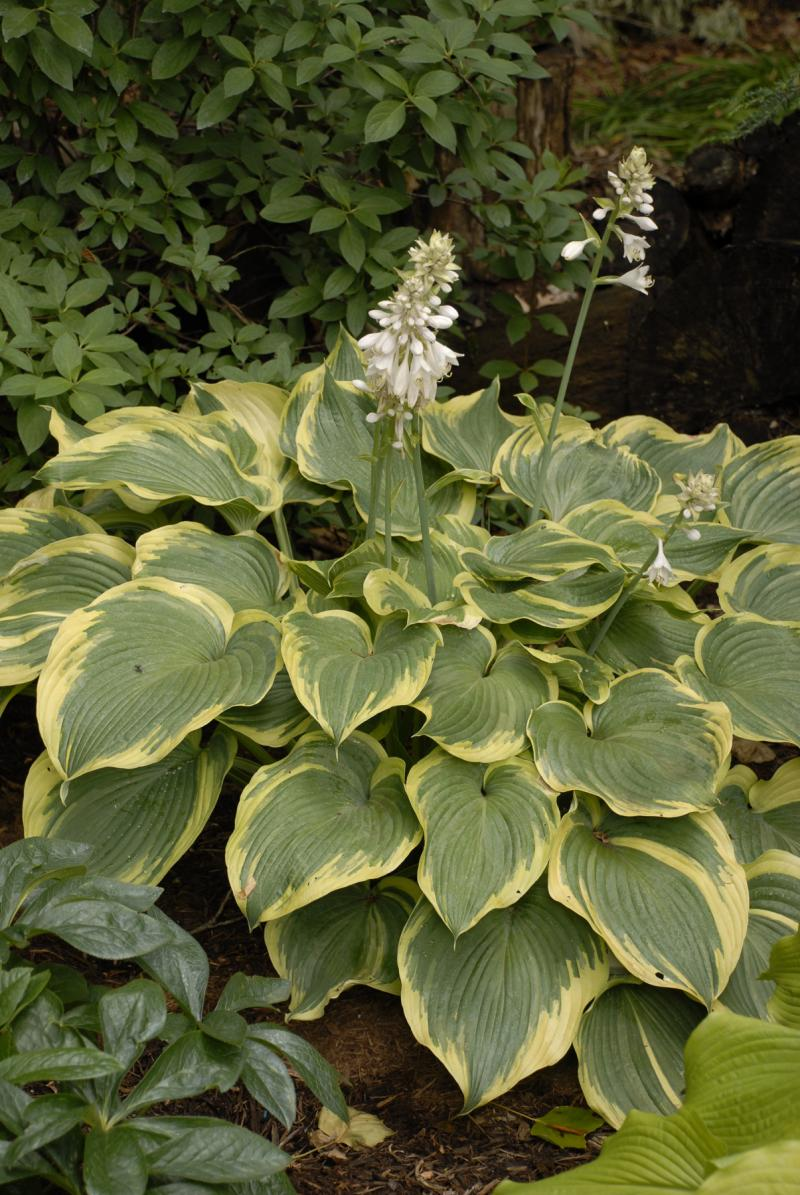 Maine hosta hostas e near white flowers listed dimensions of 16 high by 39 wide it should be similar to parent in both size and habit mightylinksfo