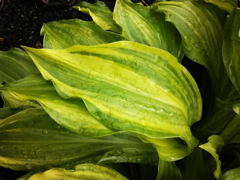 Small Variegated Hosta This is a Small Hosta With